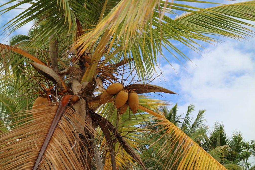 タヒチタハア島のココナッツ