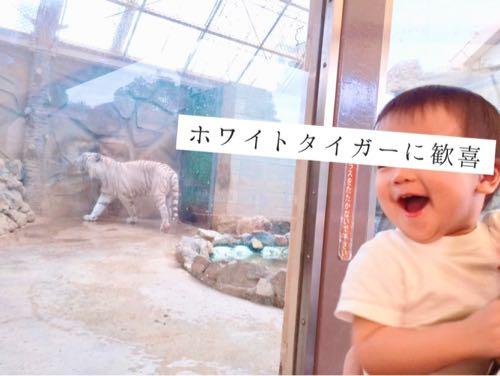 姫路セントラルパークのホワイトタイガーに歓喜する1歳の子ども
